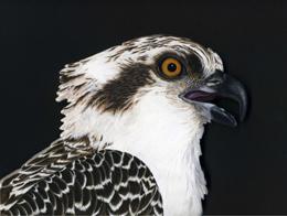 Osprey-Head-260-x-195-pixels