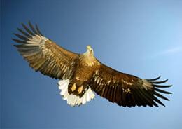 Sea-Eagle-260-x-195-pixels